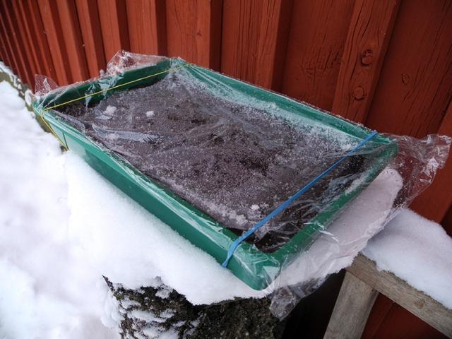"""På förpackningen stod följande; om groning inte inträffat inom en månad placeras sådden i kylen eller utomhus"""". Jag går ut hårt och ställer ut den direkt."""