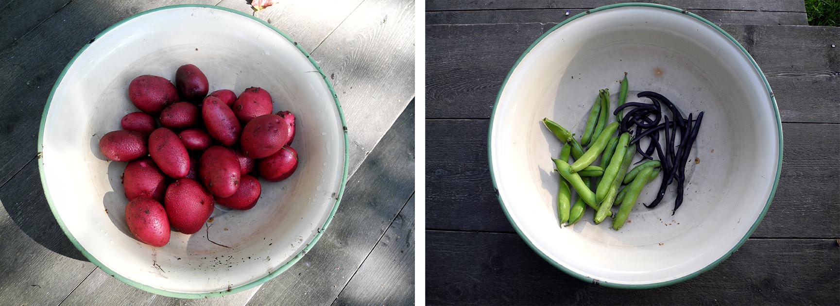 Trots odlingsmotgångarna har vi i alla fall fått en hel del potatis. Red duke of York har en fantastisk färg på skalet, men är helt omöjlig att koka. Den smular sönder direkt. Däremot passar den fint som ugnsstekt. Det blev några haricot vert och bondbönor, men betydligt färre än förväntat.