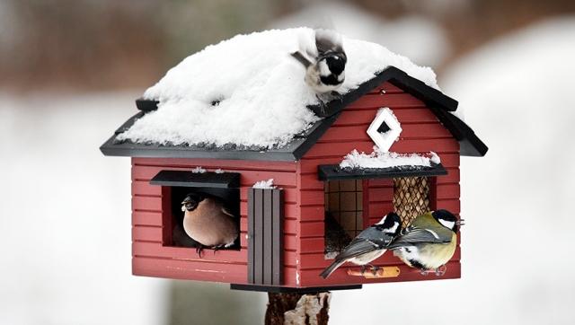 Domherre, svartmes och talgoxe har inte behövt vara hungriga i vinter.