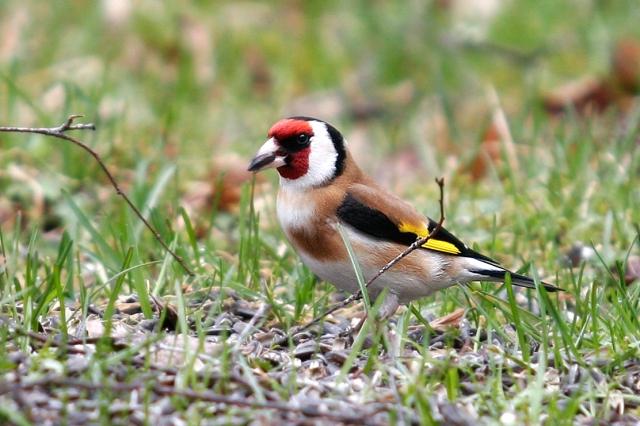 Steglitsen är en väldigt vacker fågel. Nu ser jag dem varje dag vid vårt fågelbord.