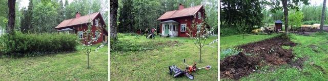 Att ta bort spireahäcken ingår i våra trädgårdsplaner. Efter jag gått lös med röjsågen visade det sig att – vi hade gäster! Men spirean försvinner inte bara för att man sågar ner den, rötterna måste grävas bort också. Nu har vi ytterligare en krater i trädgården.