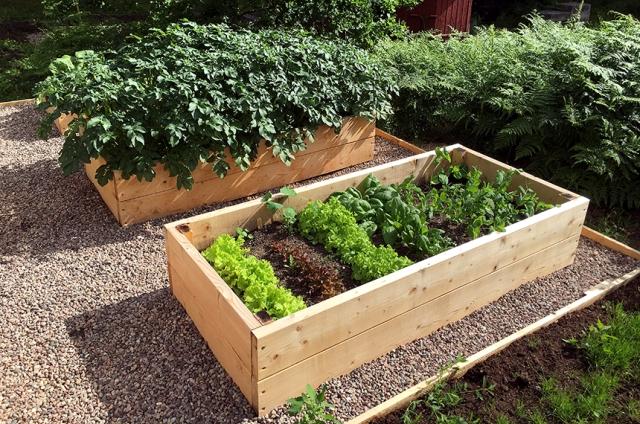 I främre lådan växer tre olika sorters sallat, spenat och sockerärter. I bakre lådan potatis.